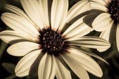 Osteospermum o margherita africana bianca fotografia stock
