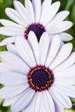 Osteospermum ou margarida africana branca Imagem de Stock