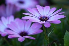 Osteospermum púrpura Fotos de archivo