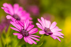 Osteospermum pink with green background Royalty Free Stock Images