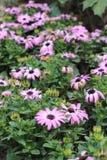 Osteospermum Royalty Free Stock Photos