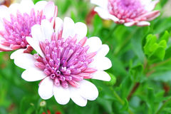 Osteospermum pink white flower field macro shot. Close up Stock Photos