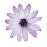 Osteospermum - pista de flor purpúrea clara de la margarita Imagen de archivo