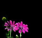 Osteospermum purpurrot, lokalisiertes Bild Stockfoto