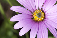 Osteospermum rose en gros plan photo stock