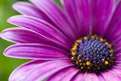 Osteospermum roxo imagens de stock royalty free
