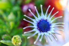Osteospermum roxo, fim acima do estame da flor fotos de stock