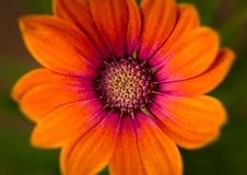 Osteospermum `Serenity Bronze` Bloom in stunning orange stock images