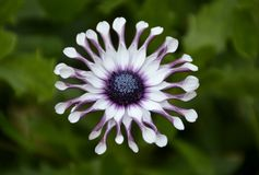Osteospermum solig philip blomma Royaltyfri Foto