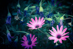 Osteospermum. Three Pink Daisy Flowers, Osteospermum royalty free stock photos