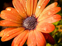 Osteospermum with water droplets Stock Images