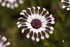 Osteospermum Whirligig daisy Stock Photography
