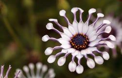 Osteospermum Whirligig daisy Royalty Free Stock Photo