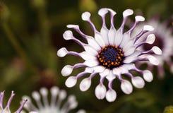 Osteospermum Whirligig daisy Stock Images