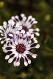 Osteospermum Whirligig daisy Royalty Free Stock Images