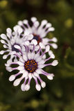 Osteospermum Whirligig daisy Royalty Free Stock Photography