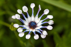 Osteospermum Whirlygig Immagine Stock