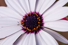 Osteospermum or White African daisy. White African daisy-shaped flower with purple center or Osteospermum blooming early in spring and will continue blooming Stock Photo