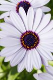 Osteospermum or White African daisy. White African daisy-shaped flowers with purple center or Osteospermum blooming early in spring and will continue blooming Stock Photos