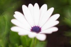 Osteospermum, witte bloem op achtergrond van groen gras Zachte selectieve nadruk royalty-vrije stock fotografie