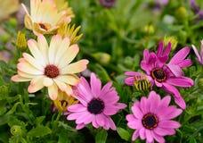 Osteospermumbloemen Stock Foto's
