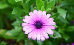 Osteospermumecklonis, Purpere Afrikaanse Daisy Royalty-vrije Stock Foto