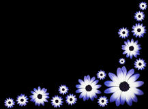 Osteospermums - Blue and White Daisies Flowers. Wallpaper - Group of Osteospermum - Beautiful Blue and White Daisies Flower Heads top view Royalty Free Stock Photos