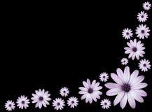 Osteospermums - Light Purple Daisies Flowers. Wallpaper - Group of Osteospermums - Beautiful Light Purple Daisies Flower Heads top view Stock Images