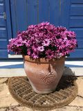 Osteospernum on the patio in Uk. A Mediterranean patio in Gloucester 2017 Royalty Free Stock Images