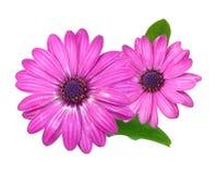 osteosperumum цветка маргаритки Стоковое Фото