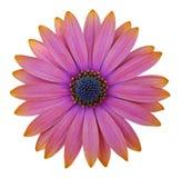 osteosperumum цветка маргаритки Стоковые Изображения
