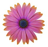 Osteosperumum Flower Daisy Stock Images