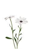 Osteosperumum Flower Daisy Royalty Free Stock Photos