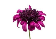 Osteosperumum Flower Daisy Isolated Stock Photo