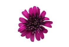 Osteosperumum Flower Daisy Isolated Royalty Free Stock Photography