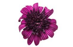 Osteosperumum Flower Daisy Isolated Stock Photos
