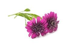 Osteosperumum Flower Daisy Isolated Royalty Free Stock Photo