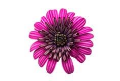 Osteosperumum Flower Daisy Isolated Royalty Free Stock Image