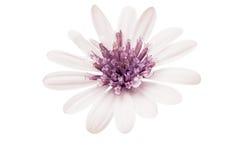 Osteosperumum Flower Daisy Isolated Royalty Free Stock Images