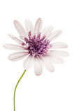 Osteosperumum Flower Daisy Isolated Stock Images