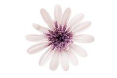 Osteosperumum Flower Daisy Isolated Stock Image