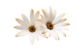 Osteosperumum Flower Daisy Isolated on White Background. Royalty Free Stock Image