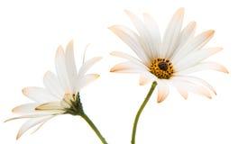 Osteosperumum Flower Daisy Isolated on White Background. Stock Photos