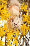 Ostereier auf Forsythiazweigen Stockfoto