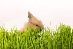 Osterhase im grünen Frühlingsgras Stockbild