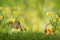 Osterhase mit Narzissen Lizenzfreies Stockfoto