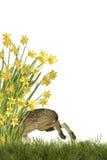 Osterhase mit Narzissen Stockbild
