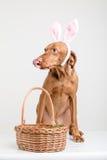 Osterhasenhund mit Korb Lizenzfreies Stockfoto