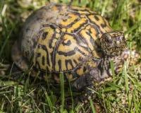 Ostern-Dosenschildkröte, die mich betrachtet stockbilder