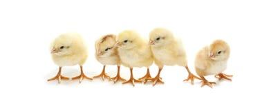 Ostern-Hühner Lizenzfreies Stockfoto